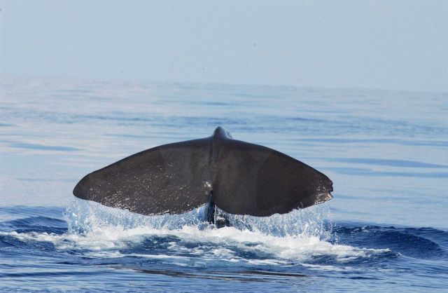Sperm whale Picture