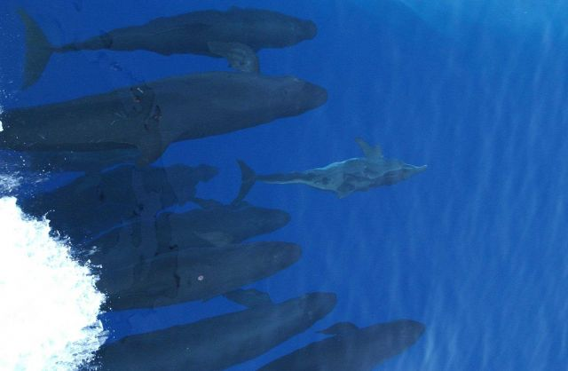 Rough-toothed dolphin and false killer whales cavorting in bow wave of GORDON GUNTER Picture