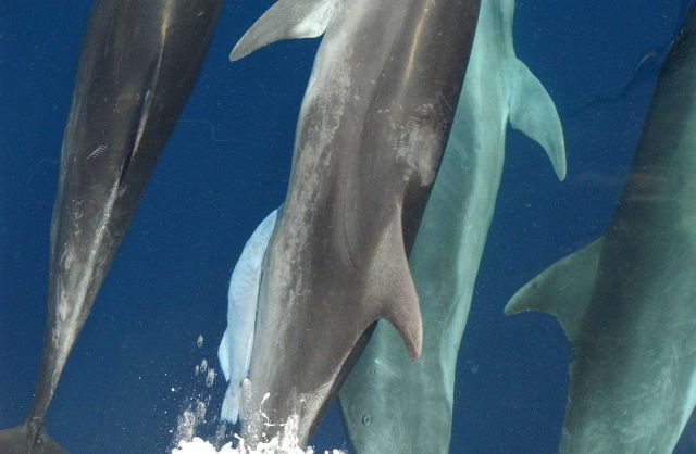 Note white remora attached to left side of center dolphin Picture