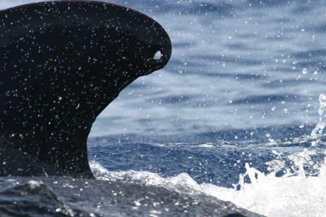 Hole in dorsal fin of pilot whale Picture