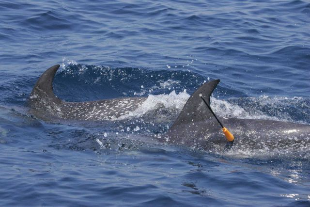 Obtaining tissue sample with cross-bow fired dart from Atlantic spotted dolphin. Picture