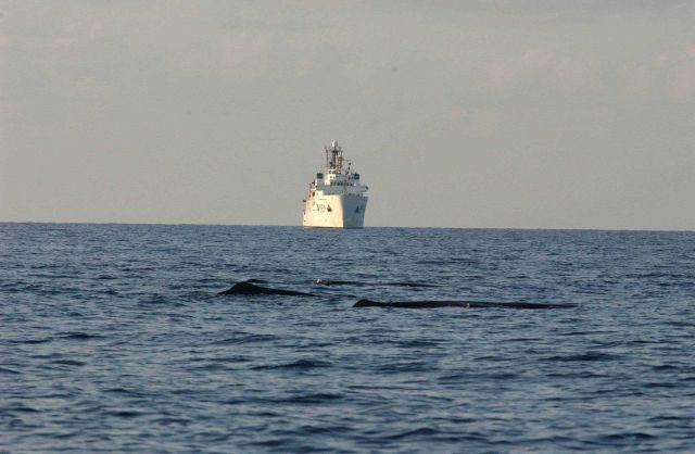 Sperm whales passing in front of NOAA Ship GORDON GUNTER Picture