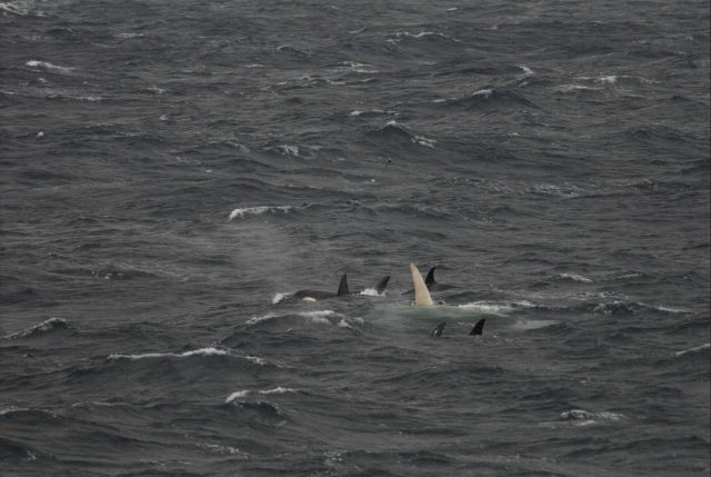 A white killer whale with pod off Alaska's Aleutian Islands. Picture