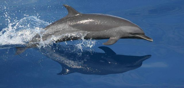 The Northeastern Offshore Spotted Dolphin (Stenella frontalis) has a falcate, or sickle-shaped dorsal fin and light spotting on the belly. Picture
