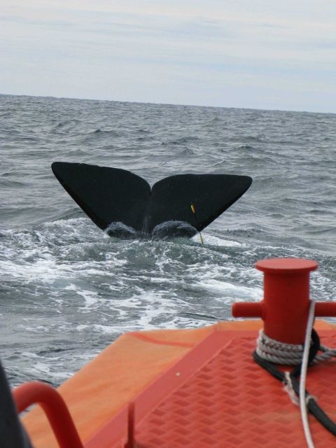 Sperm whale flukes with tissue sampling dart embedded. Picture
