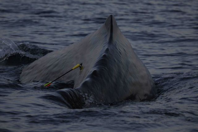Sperm whale with tissue sampling dart embedded. Picture