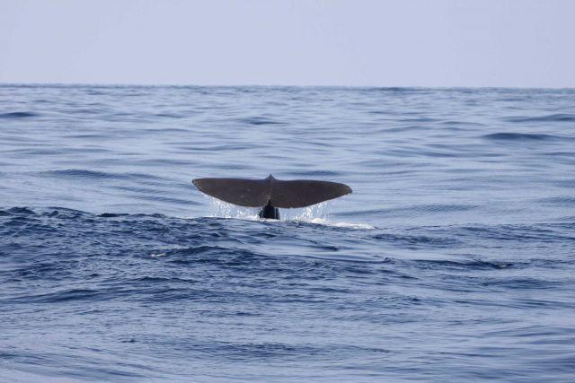 Sperm whale flukes Picture