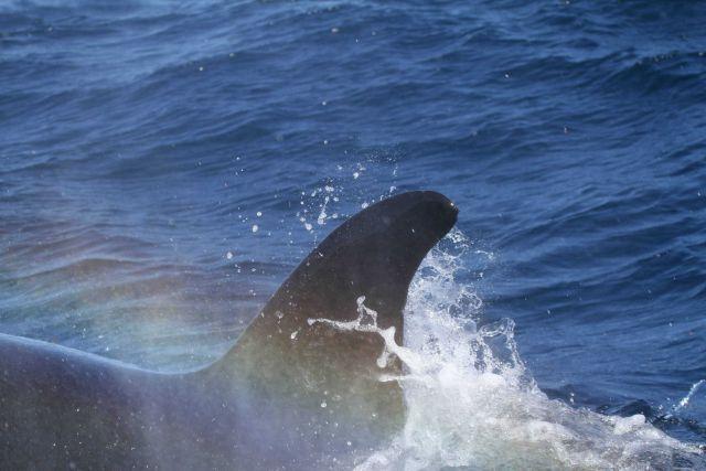 Killer whale dorsal fin Picture
