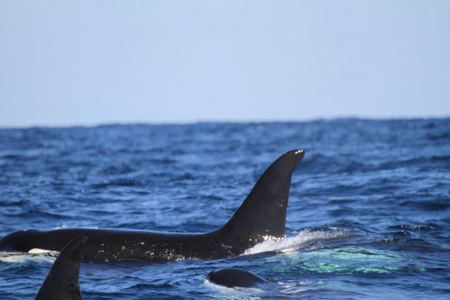 Killer whale and calf Picture