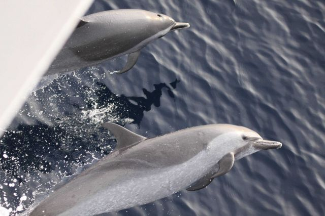 Porpoise playing in the bow wave of the NOAA Ship PISCES Picture