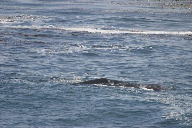 Gray whale at the surface in kelp forest. Picture
