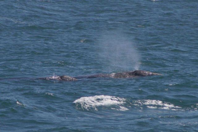 Gray whale mother, called a