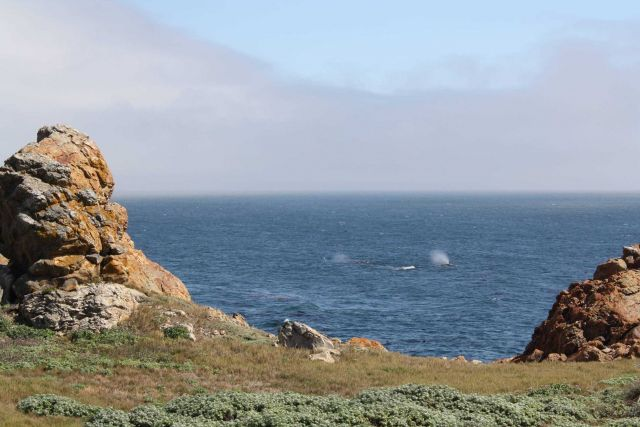 A view of two gray whale blows Picture