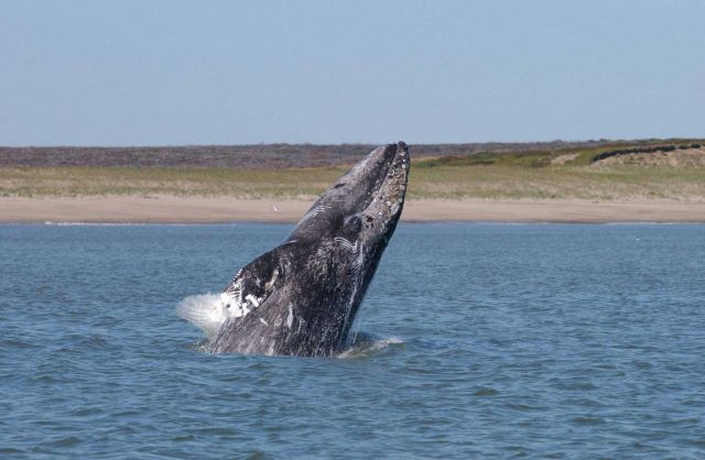 A young western Pacific gray whale breaching off the coast of Sakhalin Island Picture