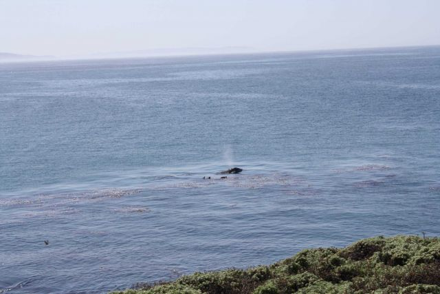 A gray whale cow and calf surfacing in a kelp paddy, next to two sea otters Picture