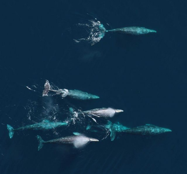 An aerial view of a pod of gray whales Picture