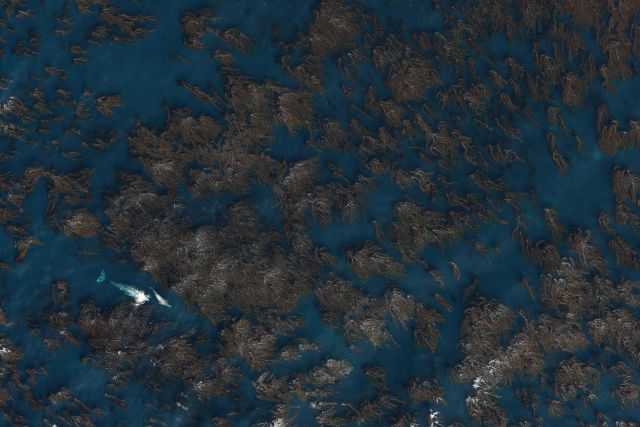 Aerial image of a gray whale cow and calf migrating through a kelp paddy off the coast of Central California. Picture