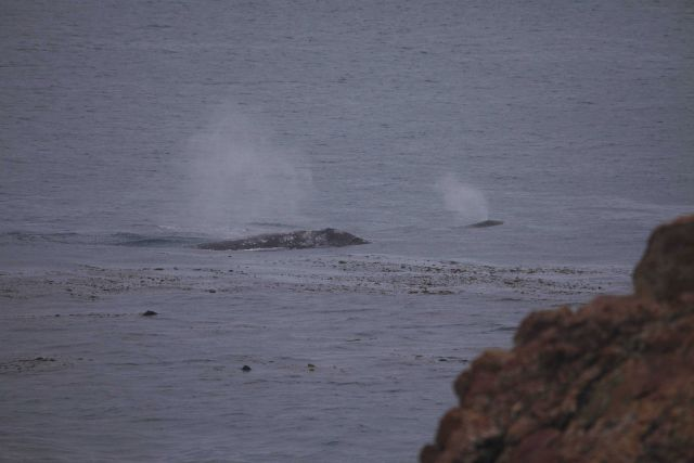 A cow calf pair swimming near shore at Point Piedras Blancas. Picture