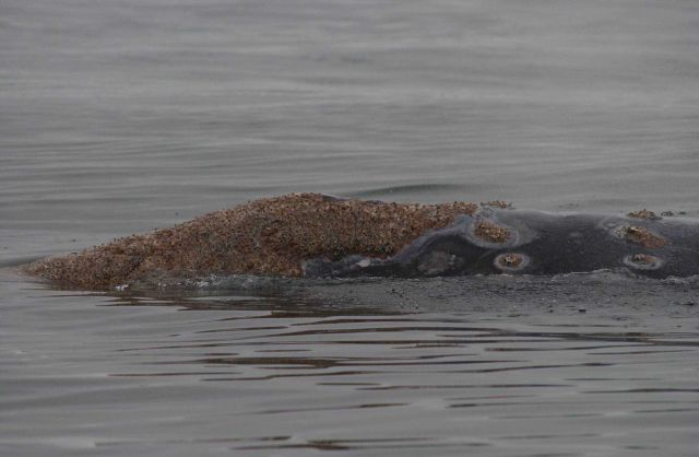 Barnacles and cyamids (whale lice) on the head of a western gray whale summering in the Okhotsk Sea. Picture