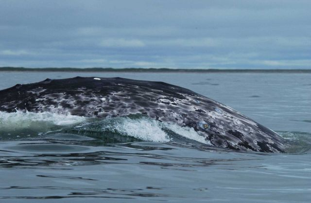 An example of the mottled coloration pattern of a western gray whale that is useful for photo-identifying individuals. Picture