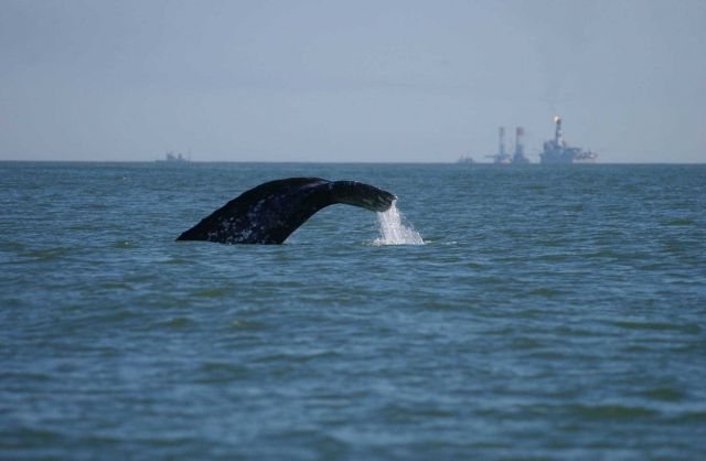 A western gray whale feeding the Okhotsk Sea off northeastern Sakhalin Island Picture