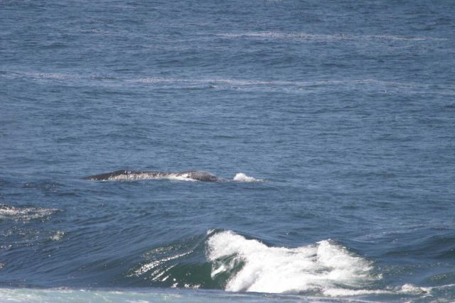 Gray whale swimming at surface near shore at Point Piedras Blancas. Picture