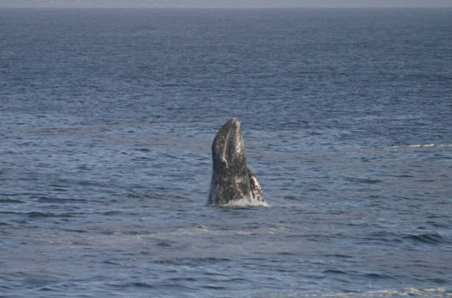 A breaching gray whale off Point Piedras Blancas. Picture