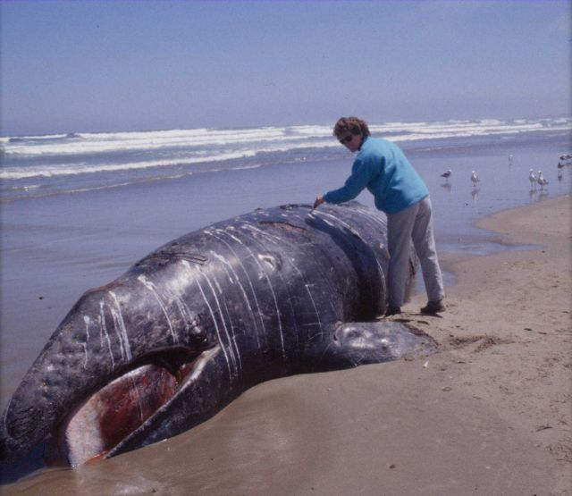 Researcher Susan Chivers taking a tissue sample from a young gray whale stranded on the central California coast Picture