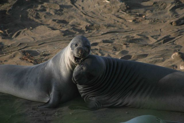 Two weaned elephant seal pups playing at the Piedras Blancas rookery Picture