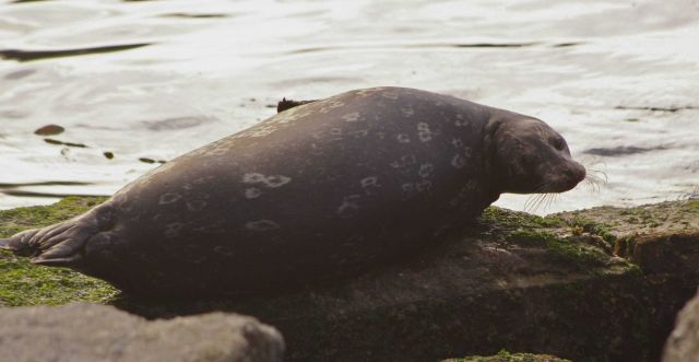 Harbor seal resting on a rock at Granite Canyon. Picture