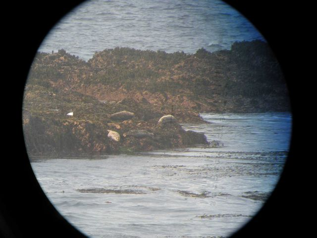 Harbor seals lounging along the shore at Point Piedras Blancas as seen through big-eye lens. Picture