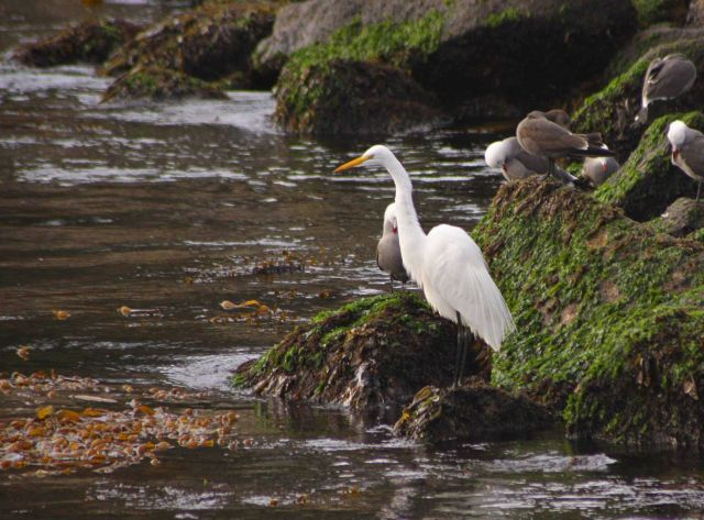 A great white egret fishing among several Heerman's gulls at Granite Canyon. Picture