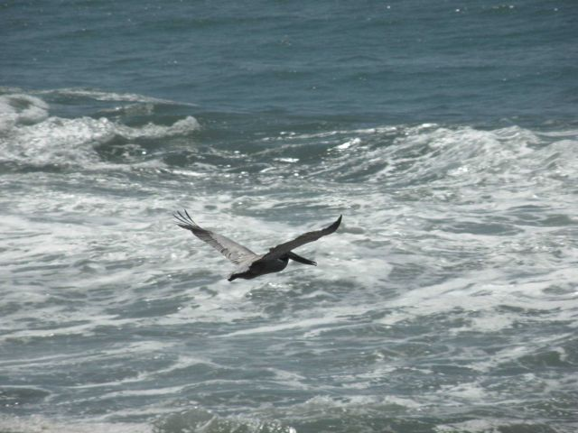 A brown pelican flying over the Central California coast Picture