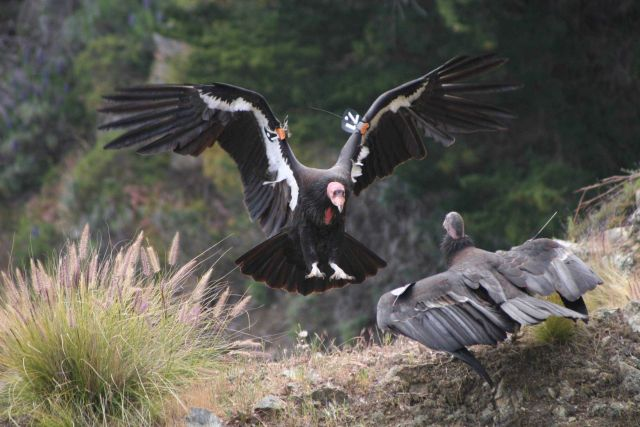 Two California condors Picture