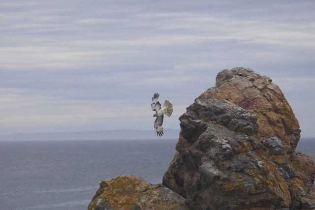 A young red-tailed hawk flying near the rocks at Point Piedras Blancas. Picture