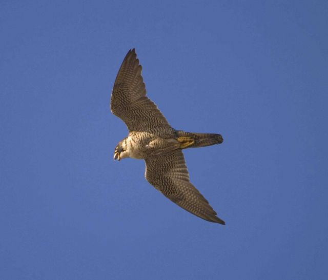 Peregrine falcon flying overhead Picture
