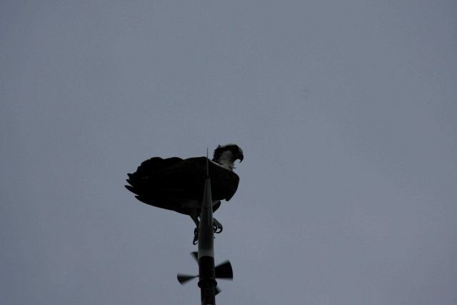 Osprey perched on anemometer on NOAA Ship PISCES Picture