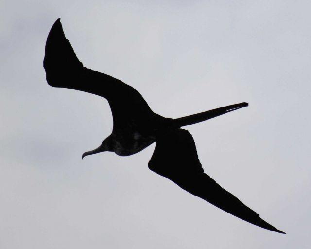 Frigatebird in flight Picture
