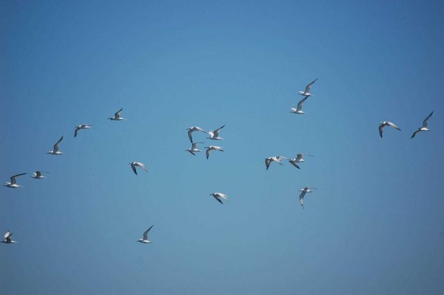 A flock of Forster's ? terns in flight Picture