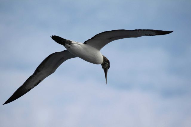 Juvenile masked booby in flight Picture