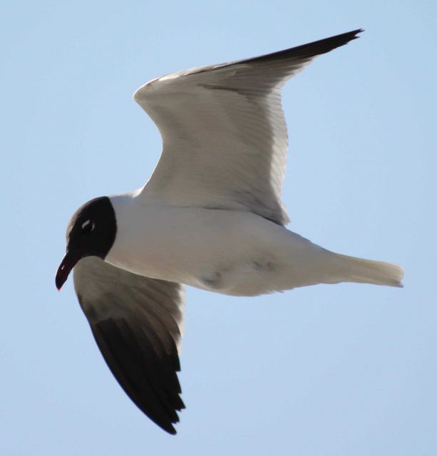 Laughing gull in flight Picture