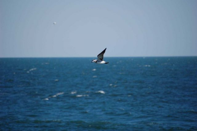 Second cycle laughing gull in flight Picture