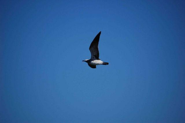 Gull in flight Picture
