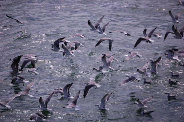 Seagulls feeding from bycatch thrown overboard from shrimp trawler. Picture