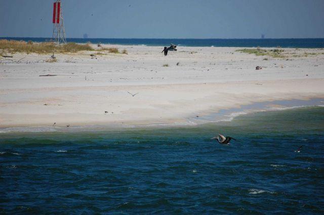 Pelicans in flight Picture