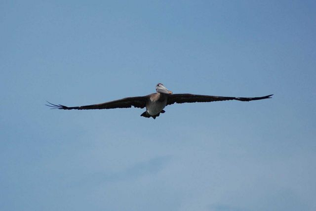 Pelican in flight seen head on Picture