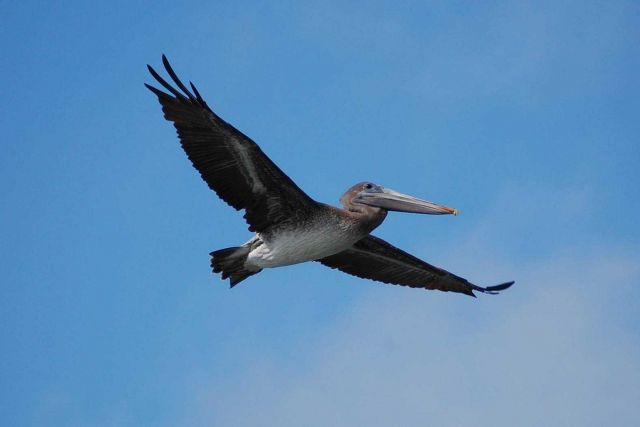 Pelican in flight seen from front right Picture