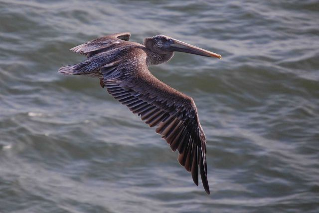 Pelican in flight seen from right side Picture