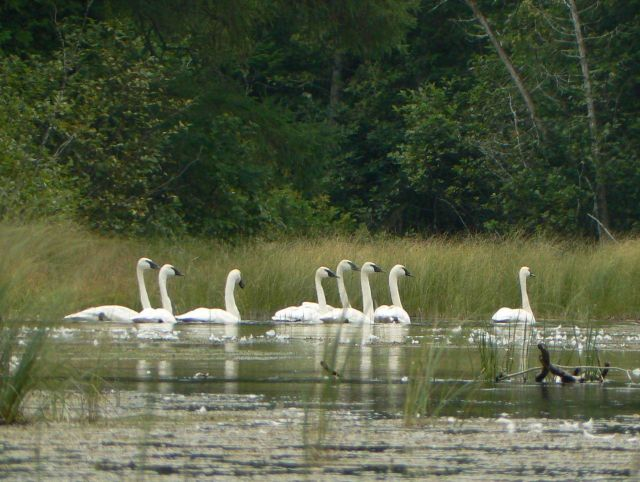 Trumpeter swan? (Cygnus buccinator) Picture