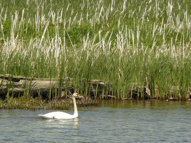 Mute swan(Cygnus olor), an agressive invasive species that destroys stands of submerged aquatic vegetation. Picture
